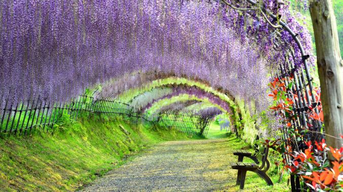 http_cdn.cnn.comcnnnextdamassets150306145109-beautiful-japan-kawachi-wisteria
